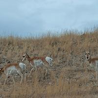 Juvenile Pronghorn Antelope (Antilocapra americana) graze on a hillside in Montana's Paradise Valley.