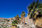 California fan palms under blue sky at Mountain Palm Springs, Tierra Blanca Mountains, Anza-Borrego Desert State Park, California