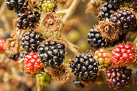 Ripe wild blackberries on the bush.