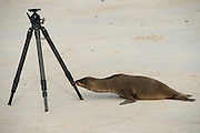 Galapagos Sea Lion (Zalophus wollebaeki)  on Beach With Tripod<br /> Santa Fe<br /> GALAPAGOS<br /> Ecuador, South America<br /> Endemic