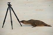 Galapagos Sea Lion (Zalophus wollebaeki)  on Beach With Tripod<br /> Santa Fe<br /> GALAPAGOS<br /> Ecuador, South America<br /> Endemic