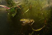 A newly morphed juvenile American bullfrog (Lithobates catesbeianus) hiding in wetland plants. Oregon.