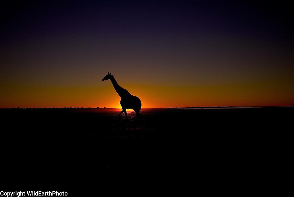 African Giraffe Sunset