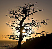 Stark against the setting sun, a dead tree and its distant Monterrey Cyprus companions are silhouetted above a tranquil Pacific. Ochre and black surround the sunburst punching through a pattern of arching boughs that sweep inland - shaped by the incessant sea-blast - in a blaze of light that recedes into the darkening heavens.