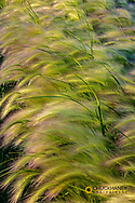 Closeup of foxtail barley in Medicine Lake National Wildlife Refuge, Montana, USA