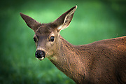 A young mule deer doe (Odocoileus hemionus) in Western Oregon.