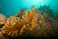 """Rich growth of sea fans and soft corals cover the steep slopes of a very high current and surge area.  The currents bring rich nutrients to these filter feeders.<br /><br /> <br />Coiba Island, <br />Coiba National Park, Panama<br />Tropical Eastern Pacific Ocean<br /><br />'Hatchet Rock"""" dive siter"""