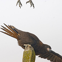 """Two Striated Caracaras, affectionately known to sailors as a """"Johnny Rooks, squabble over a fence post on New Island an outpost in Britain's Falkland Islands."""