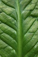 Skunk Cabbage (Lysichiton americanus)