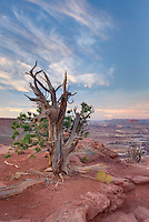 Weathered and twisted Juniper tree (Juniperus osteosperma) at dawn on rim Green River Overlook, Canyonlands National Park Utah