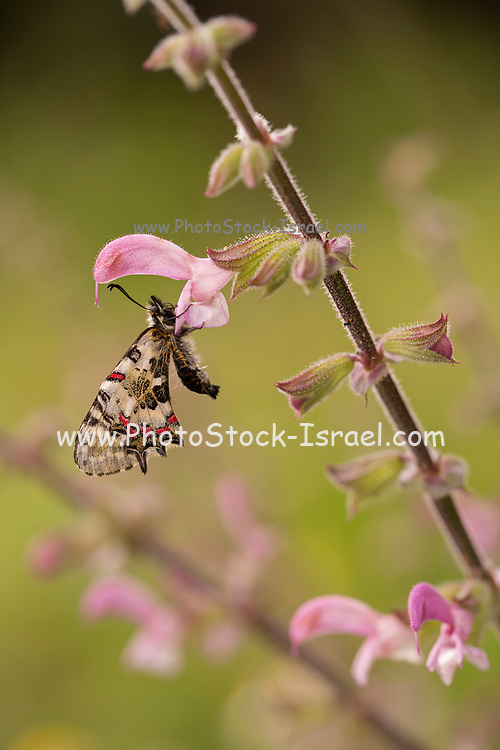 Eastern Festoon (Allancastria cerisyi) an Old World papilionid butterfly whose geographical range extends from the Balkans to include Turkey and the near Middle East.The larvae feed on various Aristolochia species. Photographed on a Salvia plant in Israel in April