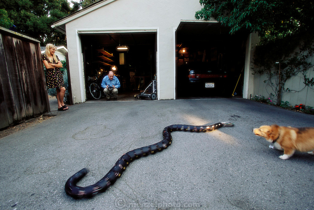 In Palo Alto, CA Gavin Miller and his wife Nancy test his robotic snake in the driveway of their home. Miller builds the snakes in his garage. Gavin's dog barks a the snake to the amusement of his wife, Nancy.