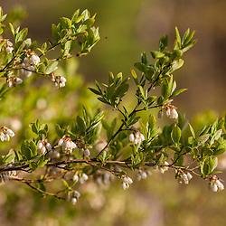 Highbush blueberry, Vaccinium corymbosum, in bloom on the edge of Spruce Hole Bog in Durham, New Hampshire. National Natural Landmark.