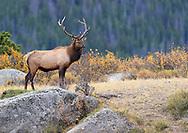 Bull Elk on the mountain top