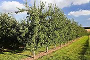 Apple orchard, Herefordshire, England, United Kingdom