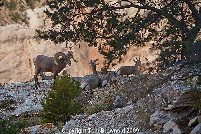 Desert Big horn sheep ram with his harem of ewes and  lambs