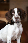 A cute Springer Spaniel dog with brown markings at home in England