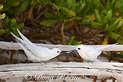 white tern or fairy tern, Gygis alba rothschildi, presents a juvenile flying fish to its mate, Sand Island, Midway, Atoll, Midway Atoll National Wildlife Refuge, Papahanaumokuakea Marine National Monument, Northwest Hawaiian Islands, USA ( Central North Pacific Ocean )