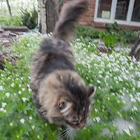 A cat prowls through a garden of sweet woodruff flowers.