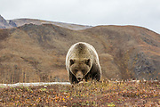 Grizzly bear in autumn sub-arctic tundra habitat