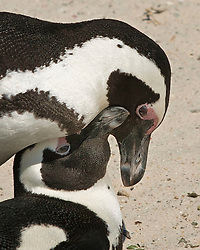 March 18, 2011 - Cape Peninsula, Western Cape, South Africa - A pair of African Penguins, (Spheniscus demersus), an endangered species, in courtship rituals during mating in the Boulders Beach penguin colony, part of Table Mountain National Park, a popular tourist stop near Simons Town..(Credit Image: © Arnold Drapkin/ZUMAPRESS.com)