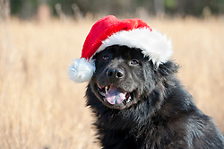 Dog wearing a Santa Claus hat