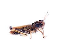 IFTE-NB-007262; Niall Benvie; Female Gomphocerippus sibiricus; grasshopper; Europe; Austria; Tirol; Fliesser Sonnenhänge; insect arthropod invertebrate; horizontal; high key; brown white; controlled; female; adult; one; moorland; 2008; July; summer; strobe backlight; Wild Wonders of Europe Naturpark Kaunergrat