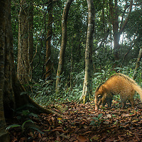 The hog badger (Arctonyx collaris) is a terrestrial mustelid that is widespread in Central and Southeast Asia. It is listed as Near Threatened in the IUCN Red List of Threatened Species.