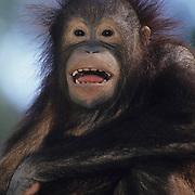 An Orang-utan (Pongo pygmaeus) in Malaysia.