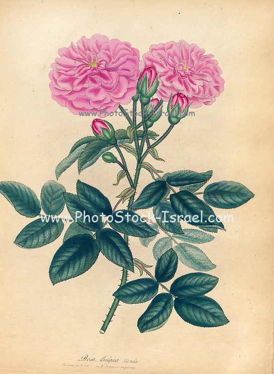 Rosa Belgica, blanda, Blush Belgic Rose From the book Roses, or, A monograph of the genus Rosa : containing coloured figures of all the known species and beautiful varieties, drawn, engraved, described, and coloured, from living plants. by Andrews, Henry Charles, Published in London : printed by R. Taylor and Co. ; 1805.
