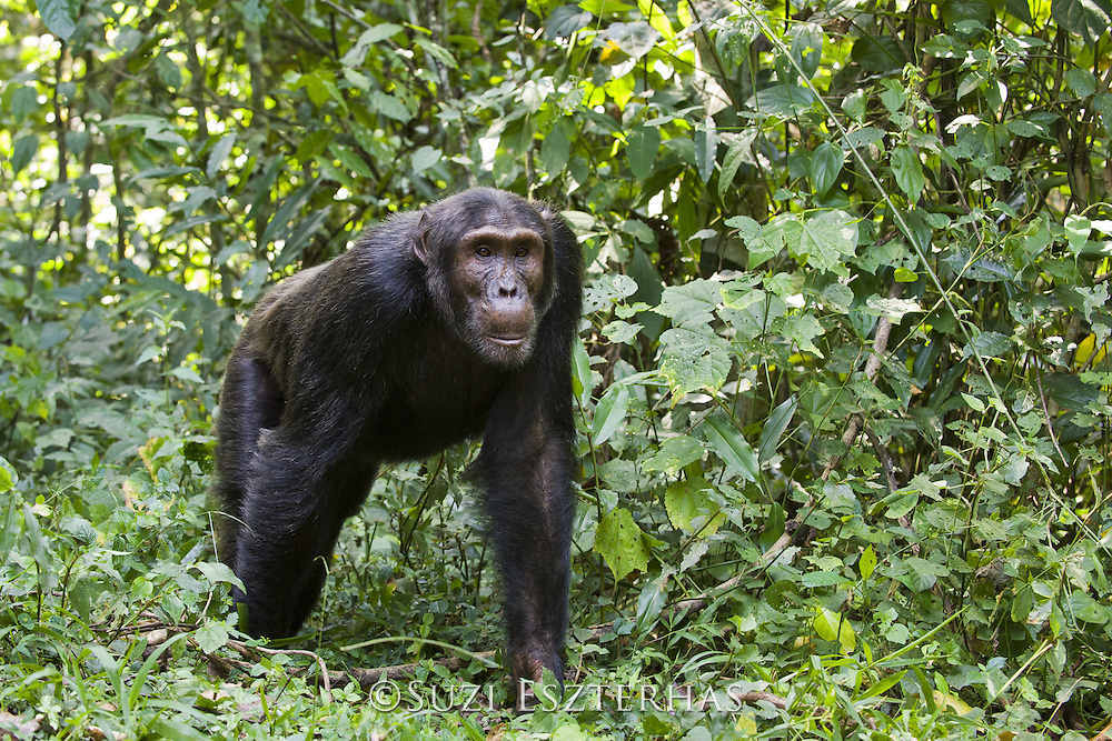 Chimpanzee<br /> Pan troglodytes<br /> Resting while patrolling for monkeys and other chimps<br /> Tropical forest, Western Uganda