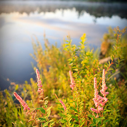 Steeplebush, Spiraea tomentosa, blooming on the shoreline of Little Bear Brook Pond in Errol, New Hampshire. Northern Forest