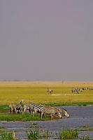 A herd of zebra drinking, Amboseli National Park, Kenya