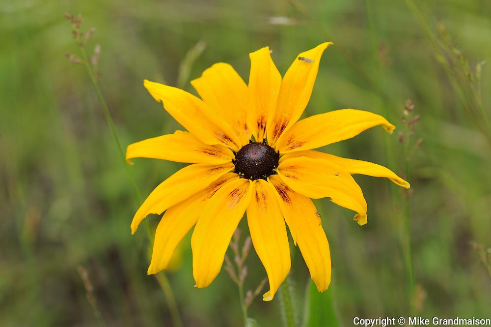 Black-Eyed Susan (Rudbeckia hirta)<br /> Temagami<br /> Ontario<br /> Canada