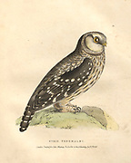 boreal owl (Aegolius funereus syn Strix tengmalmi), color plate of North American birds from Fauna boreali-americana; or, The zoology of the northern parts of British America, containing descriptions of the objects of natural history collected on the late northern land expeditions under command of Capt. Sir John Franklin by Richardson, John, Sir, 1787-1865 Published 1829