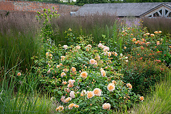 Rosa 'Grace' syn. 'Auskeppy' AGM amongst grasses and euphorbia at Wynyard Hall. Rosa 'Lady of Shalott' syn. 'Ausnyson' in the distance