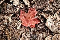 Red leaf isolated against a sepia forest floor. Photographed in a North Florida forest near the Alabama border.