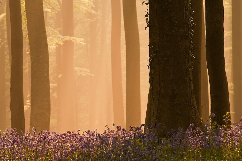 Misty Hallerbos forest at dawn, bluebellls Hyacinthoides non-scripta in the foreground, Belgium