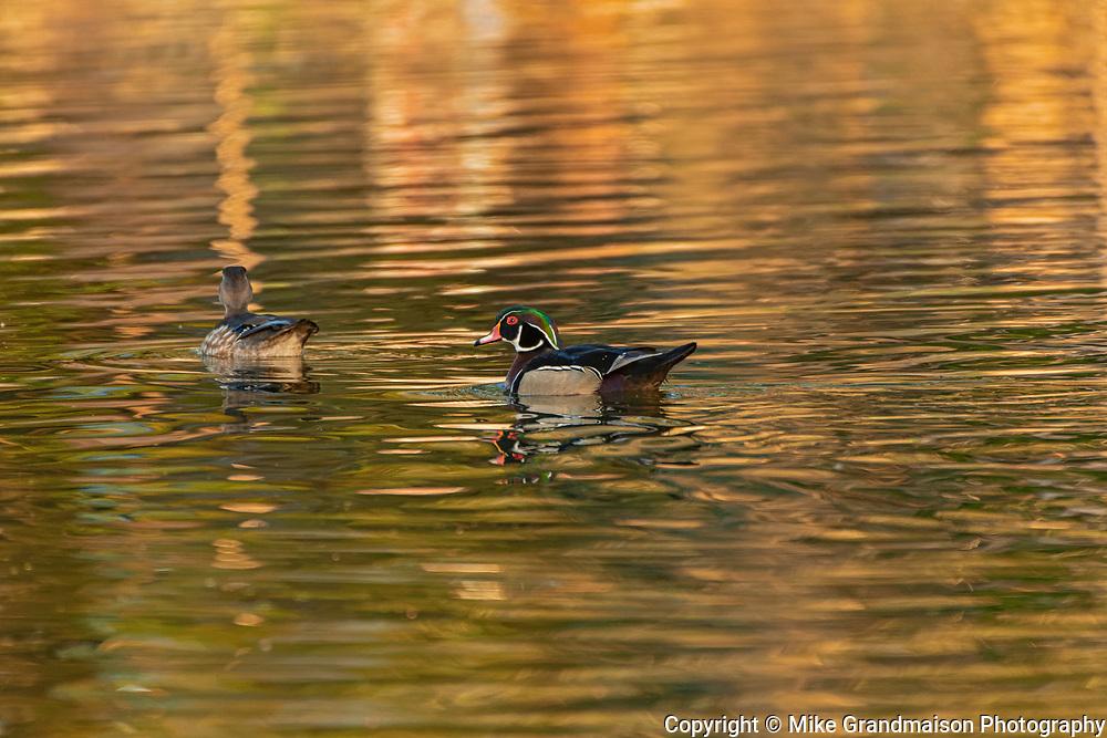Wood duck (Aix sponsa) male and female <br />Winnipeg<br />Manitoba<br />Canada