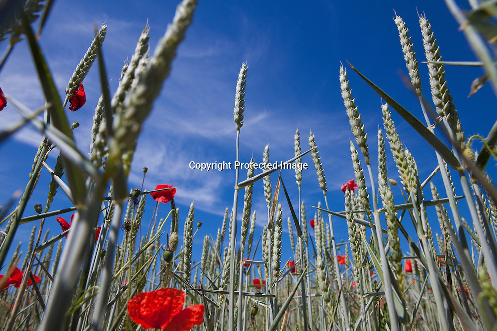wild flowers in champagne, Francegrain production in France