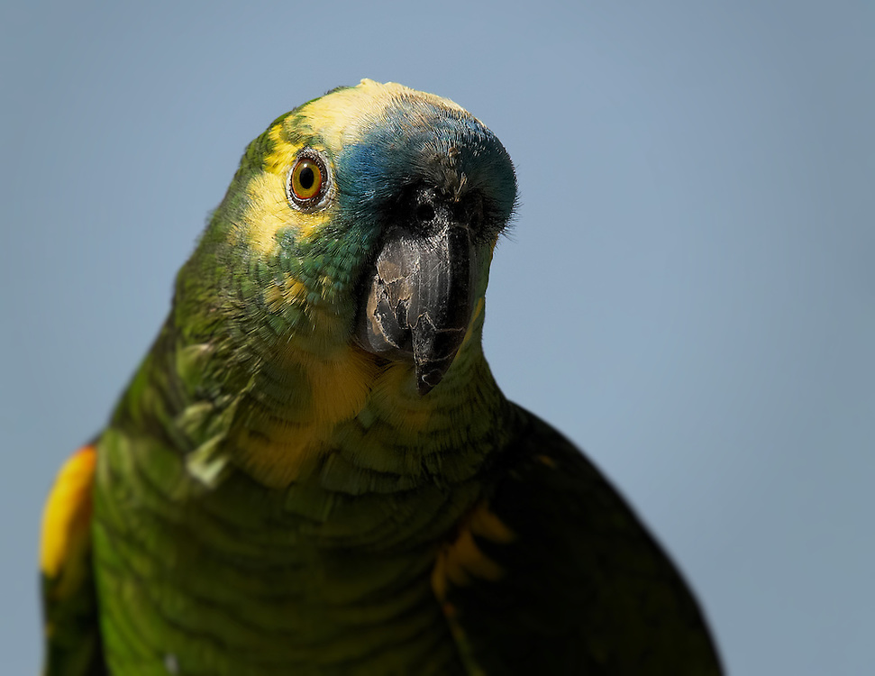 Tunisia - Yellow-green parrot