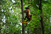 Red Howler Monkey (Alouatta seniculus) & Baby<br /> Tiputini River, Yasuni National Park, Amazon Rainforest<br /> ECUADOR. South America<br /> HABITAT & RANGE: Amazon Basin in Venezuela, Colombia, Ecuador, Peru, Bolivia and Brazil.