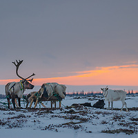 North of the Arctic Circle in Russia, reindeer graze on lichens in the tundra surrounding patches of taiga forest, with a long sunset lighting up the sky.