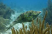 Scrawled Filefish (Aluterus scriptus)<br /> BONAIRE, Netherlands Antilles, Caribbean<br /> HABITAT & DISTRIBUTION: Reefs and open water<br /> Florida, Bahamas, Caribbean, Gulf of Mexico, north to Massachusetts, Bermuda & south to Brazil.