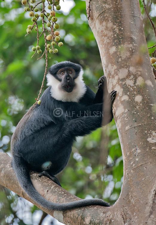 L'Hoest's monkey (Cercopithecus lhoesti) from Kibale forest, Uganda.