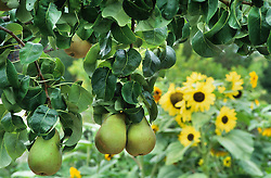 Pears hanging from a pergola with sunflowers in the background. Pyrus communis 'Beurré Hardy'