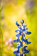 Bluebonnet meditation. Terry Hershey Park, Houston, Texas