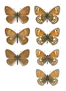 Large Heath - Coenonympha tullia - male, ssp. davus - Lake District (top row) - <br /> female, ssp. davus - Lake District (2nd row) - male, ssp. polydama - Scottish borders (3rd row). Hardy, upland butterfly. Adult seldom reveals upperwings; underside of hindwing is grey-brown while orange-brown forewing has a small eyespot. Flies June-July. Only flies in sunny weather and drops into vegetation the instant a cloud obscures the sun. Larva feeds on White Beak-sedge. Status Local on waterlogged acid moors from central Wales northwards; most widespread in Scotland, very local in Ireland.<br /> bottom row - male, ssp. scotica - NW Scotland