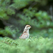 Ruffed Grouse, (Bonasa umbellus) Young chick pops up from cover to locate mother.Summer.
