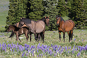 Band of wild mustangs in a field of wildflowers
